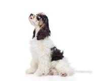 Cocker spaniel-Welpe, der im Profil sitzt und oben schaut Getrennt Stockfotografie