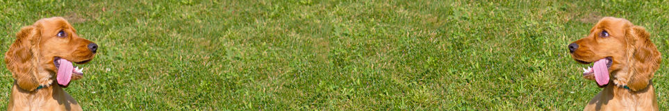 Cocker Spaniel wide grass background display Stock Photo