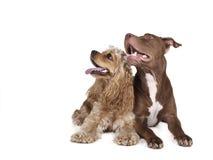 Cocker spaniel y un pitbull Imagen de archivo libre de regalías
