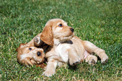 Cocker spaniels Royalty Free Stock Image