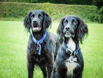 Cocker spaniels. On a bright day Stock Image