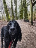 Cocker Spaniels. Cocker spaniel on a rainy day Royalty Free Stock Images