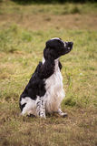 Cocker Spaniel in the meadow Stock Images