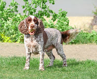 Cocker springer spaniel dog Royalty Free Stock Photo