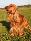 Cocker upright in the grass. Purebred english cocker upright in a field: cute companion Stock Photo