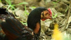 Cockerel ελεύθερο πορτρέτο σειράς πουλιών κοτόπουλου απόθεμα βίντεο