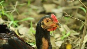 Cockerel επικεφαλής πυροβοληθείσα στατική ελεύθερη σειρά πουλιών κοτόπου απόθεμα βίντεο