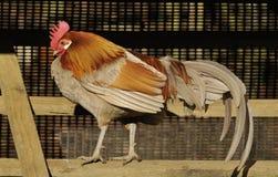 cockerel εσωτερικό καταφύγιο στοκ φωτογραφία με δικαίωμα ελεύθερης χρήσης