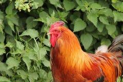 Cockerel κοκκόρων πουλί στοκ φωτογραφίες με δικαίωμα ελεύθερης χρήσης