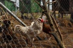 Cockerel με τις κότες στο κλουβί στοκ εικόνα με δικαίωμα ελεύθερης χρήσης