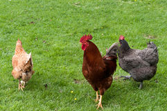 Cockerel με τις κότες Στοκ Εικόνες