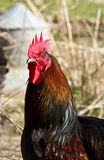 Cockerel Royalty Free Stock Photography