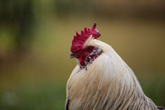 Cockerel. Portait of a cockerel with blurred background stock photography