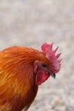 Cockerel Stock Images