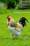 cockerel Stock Afbeelding