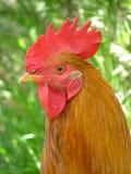 Cockerel Royalty Free Stock Photos