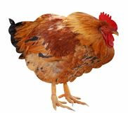 Cockerel Stock Images