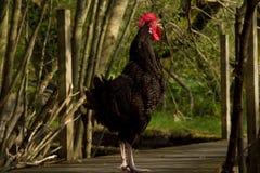 Cockerel on boardwalk. Stock Images