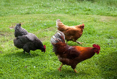 Cockerel and chickens running. Stock Images