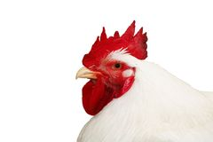 Cockerel with clipping path Stock Photos