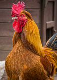 Cockerel Royalty Free Stock Image