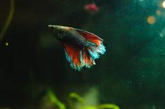 Cockerel fish in aqua color in aquarium, glowing silhouette and contour
