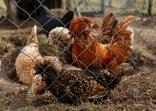Cockerel with hens in the cage. Cockerel with hens in the open-air cage royalty free stock images