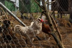 Cockerel with hens in the cage. Cockerel with hens in the open-air cage royalty free stock image