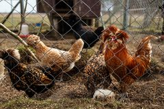 Cockerel with hens in the cage. Cockerel with hens in the open-air cage stock images