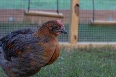 Cockerel kogut w podwórko kurczaka bieg zdjęcia stock
