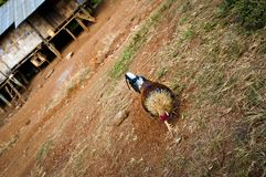 Cockerel, Laos. Cockerel pecking for food in an indigenous village, with houses on stilts in the background, Laos royalty free stock photography