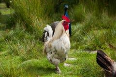 Cockerel and a peacock Stock Photography