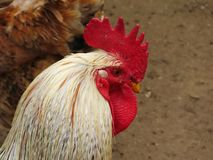 Close up of a cockerel. A cockerel in a pen. Both birds are poultry, and are kept by farmers and individual households a like stock photography