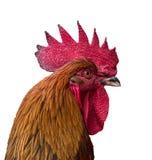Cockerel. A cockerel portrait head shot Royalty Free Stock Image