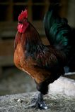 cockerel produkci czerwona koguta strona Zdjęcia Stock
