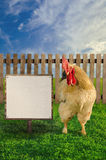 Cockerel standing beside the blank white advertisement Stock Images