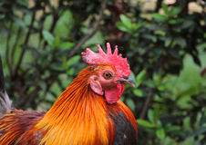 Cockerel in Thai Garden. Cockerel feeding in Thai Garden Royalty Free Stock Photos