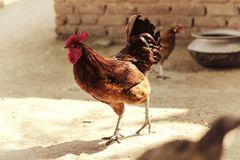 Cockerel in a village household. A free running Cockerel pictured in a village household Royalty Free Stock Photo
