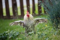 Cockerel w ogródzie Fotografia Stock
