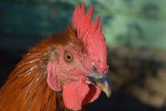 A cockerel Stock Images