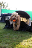 Cockerpoo dog coming trough tunnel Stock Photos