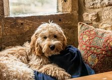 Cockerpoo dog lying in window seat royalty free stock image