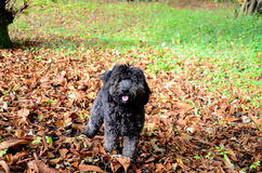 Cockerpoo dog playing in the autumnal leaves Stock Image