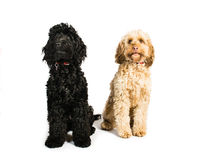 Cockerpoos. Pair of Cockerpoo on a white background Stock Images