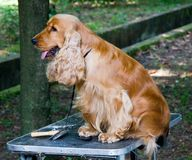 Cockerspaniel Stockbild