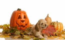 Cockerspaniel in der Herbsteinstellung Lizenzfreie Stockfotografie