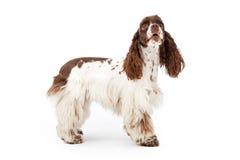Cockerspaniel-Hund, der oben schaut stockfoto
