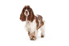 Cockerspaniel-Hundestellung Stockbild