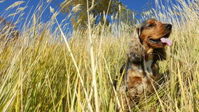 Cockerspaniel i långt gräs arkivbild