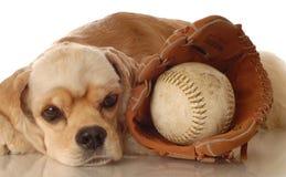 Cockerspaniel mit Baseball stockfotografie